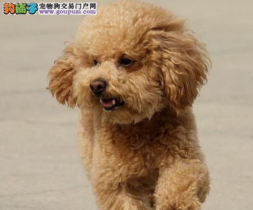 连云港热销贵宾犬颜色齐全可见父母可以送货上门