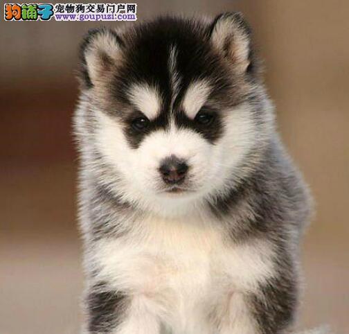 苏州正规养殖基地出售三把火哈士奇幼犬 可送货上门