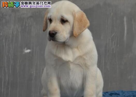骨架健硕超大骨量的柳州拉布拉多犬找新家 欲购从速