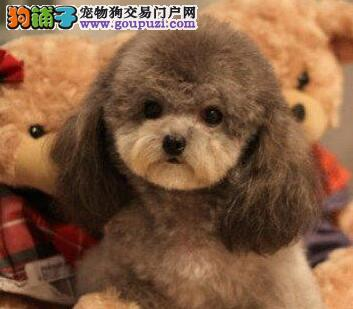 专业正规犬舍热卖优秀重庆泰迪犬重庆周边免费送货