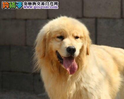 美系大脑袋青岛金毛幼犬低价出售 外地朋友可视频选狗