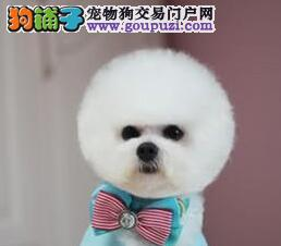 家养一窝大纽扣眼的江门比熊犬转让购犬有礼品