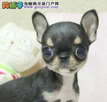 北京实体店出售精品吉娃娃保健康CKU认证绝对信誉保障
