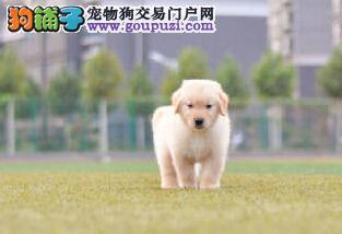 出售纯种大头金毛犬保健康保品质公母均有欢迎选购.