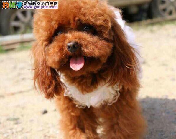 深圳本地狗场直销韩系泰迪犬 售后服务好保证质量优秀