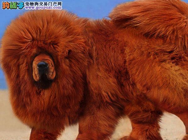 呼和浩特繁殖场直销铁头包金藏獒幼崽 多只幼犬供选购