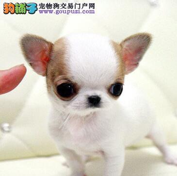 热销多只优秀的北京纯种吉娃娃幼犬品质一流三包终身协议