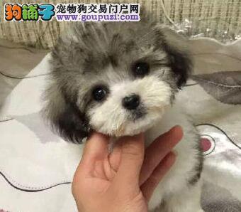 100%纯种健康的封泰迪犬出售签订保障协议