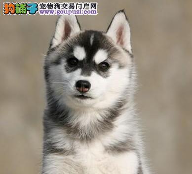 出售纯种三火蓝眼哈士奇保定地区购犬可送货