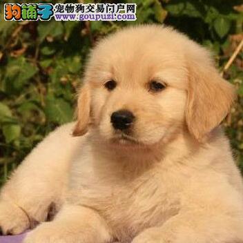 上海专业犬舍直销大骨架金毛犬 欢迎提前进行预订