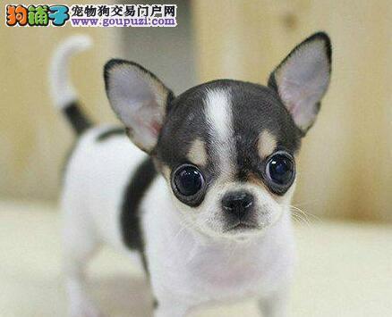 出售纯种健康的四平吉娃娃幼犬可签合同刷卡
