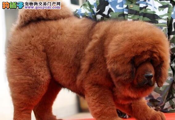 广州实体獒园出售铁头包金大狮头藏獒幼崽 狗贩子绕行