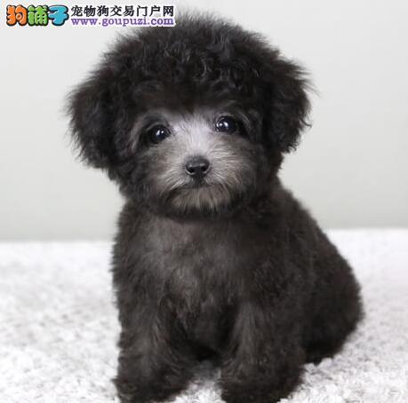 昆明正规狗场热销韩国血统泰迪犬 保证血统纯度
