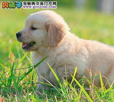 精品金毛幼犬一对一视频服务买着放心实物拍摄直接视频