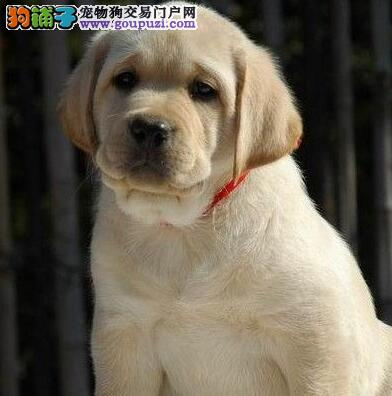 基地直销纯种宝鸡拉布拉多犬品相好质量保证