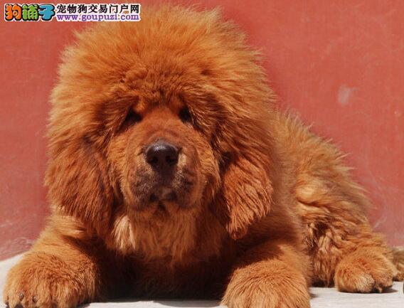 广州正规犬舍出售纯血统的藏獒幼崽 保证品质和售后