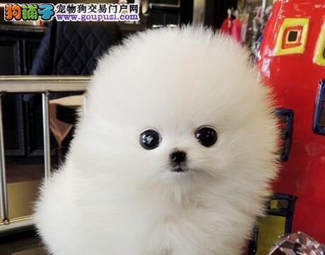 广州繁殖基地出售俊介血系的博美犬 承诺售后三包