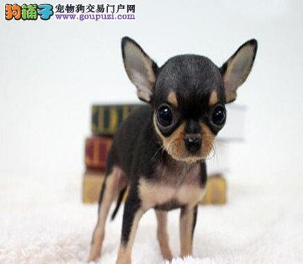 体形超小的大眼睛呼和浩特吉娃娃幼犬找新家 非诚勿扰