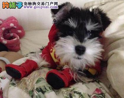 繁殖基地出售纯种迷你南通雪纳瑞幼犬 签订保障协议