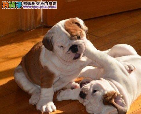 出售极品英国斗牛犬幼犬完美品相期待来电咨询