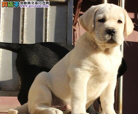 直销拉布拉多幼犬 公母均有颜色齐全 质保全国送货