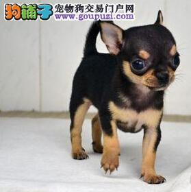 出售 可爱 酷似外星人的苹果头 活泼可爱吉娃娃幼犬