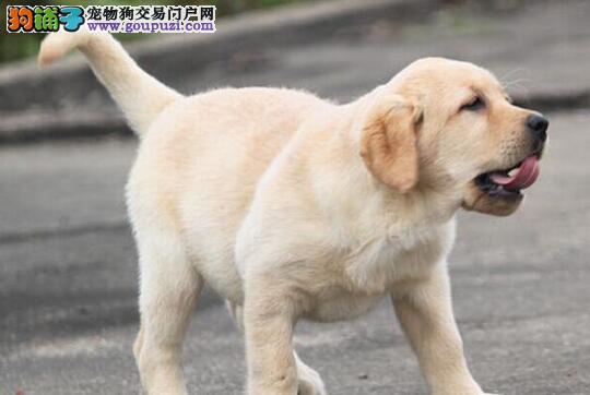 繁殖基地转让吉林拉布拉多犬可签订活体协议