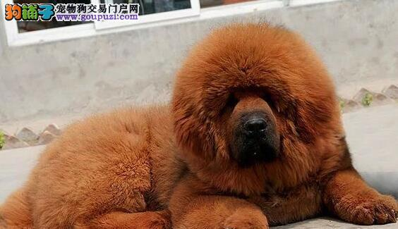 CKU犬舍认证南京出售纯种藏獒微信咨询看狗