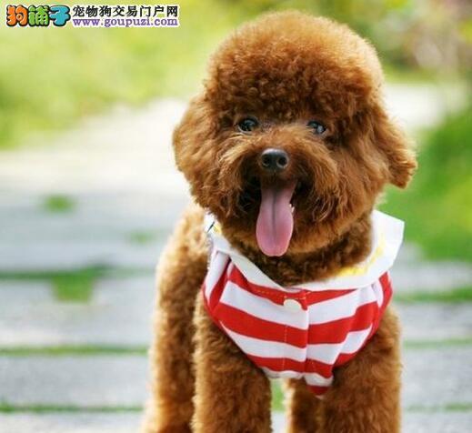 广州什么地方有卖纯种贵宾犬