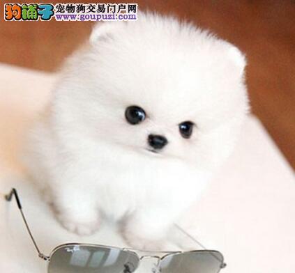 出售纯种球型哈多利唐山博美幼犬 可随时电话咨询我
