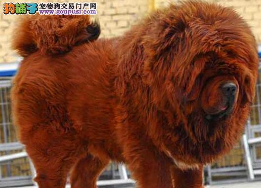 藏獒火爆销售中,完美品相 品质第一,微信咨询看狗