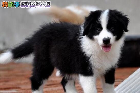 极高智商的唐山边境牧羊犬热卖中 可签正规购犬协议