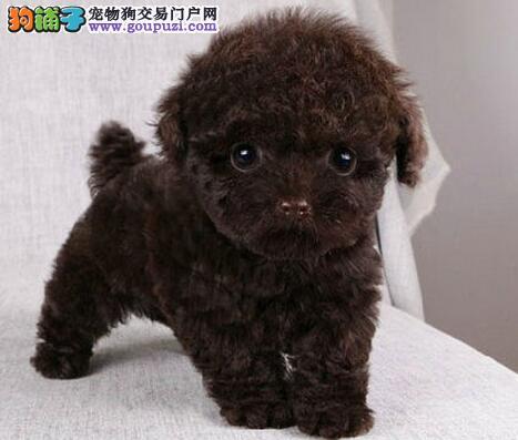 唐山专业繁殖直销出售六种颜色的泰迪犬 签署协议书
