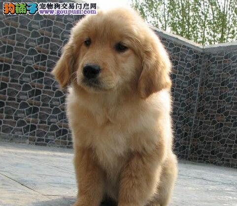 济南知名犬舍低价出售金毛犬 多窝可选带血统证书芯片