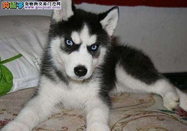 唐山实体狗场出售三把火哈士奇幼犬 终生享受免费售后