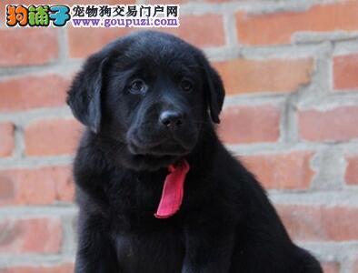 杭州拉布拉多;导盲犬拉布拉多各色都有低售