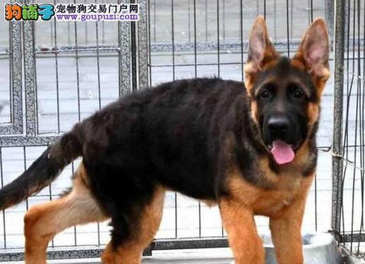 大嘴宽脸黑背品相的德国牧羊犬找新家 唐山市内可送货