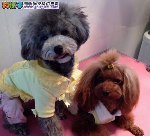 最适合女生犬种~有生命的布绒玩具~贵宾出售!