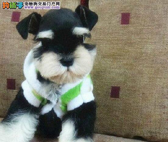 节日大回馈 武汉正规健康犬舍出售白胡雪纳瑞 赠用品