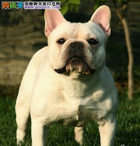 石家庄自家狗场繁殖直销法国斗牛犬幼犬价格低廉品质高