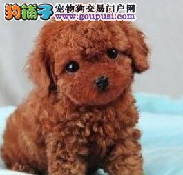 武汉家养多只纯贵血统贵宾犬热卖多种颜色可挑选