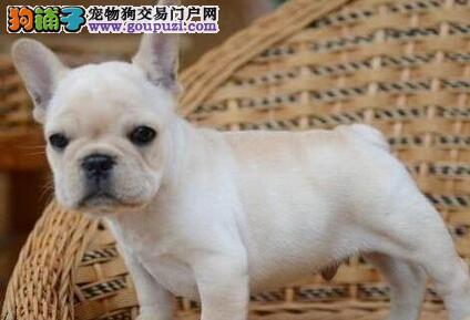 颜色全品相佳的法国斗牛犬纯种宝宝热卖中签订终身纯种健康协议