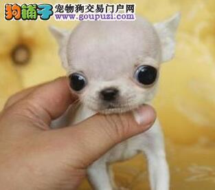 丽江热卖吉娃娃多只挑选视频看狗终身售后协议