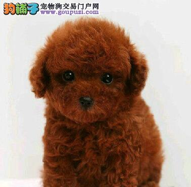 郑州狗场出售极品泰迪犬保证健康驱虫疫苗已做