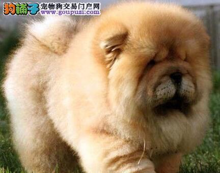 帝王松狮犬胖乎乎的松狮专业繁殖