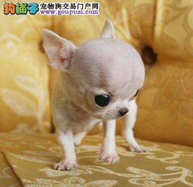 郑州大型实体店直销品相好的吉娃娃大眼睛苹果头