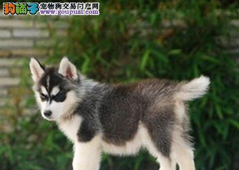贵阳低价出售可爱有个性的双蓝眼哈士奇幼犬 喜欢联系