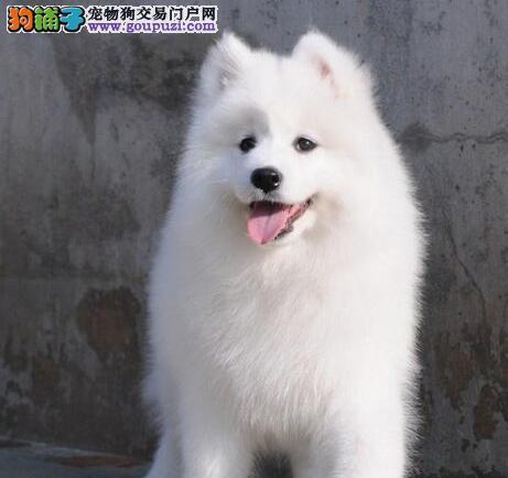 广州JIKE犬业天使般的笑脸萨摩耶可视频