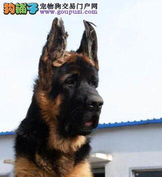 大型专业培育德国牧羊犬幼犬包健康狗贩子请绕行
