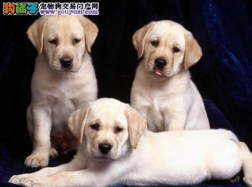 极品优秀血统宁波拉布拉多犬特价出售中 可签订协议
